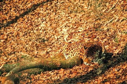 camophlage-jaguar